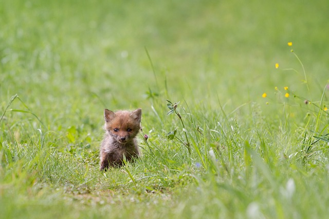 野原と子狐