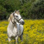 花畑の白馬