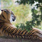 くつろいでいる虎