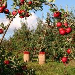 りんご農園