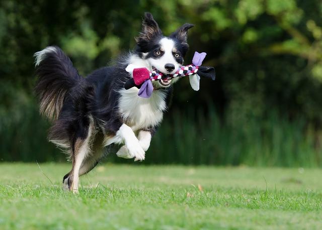 走るコリー犬