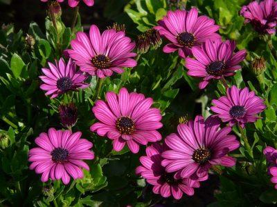 オステオスペルマムの花