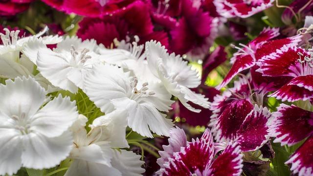 ダイアンサスの花