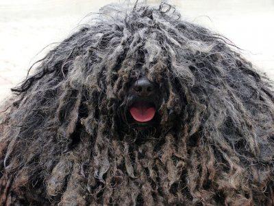 長い毛のモップ犬