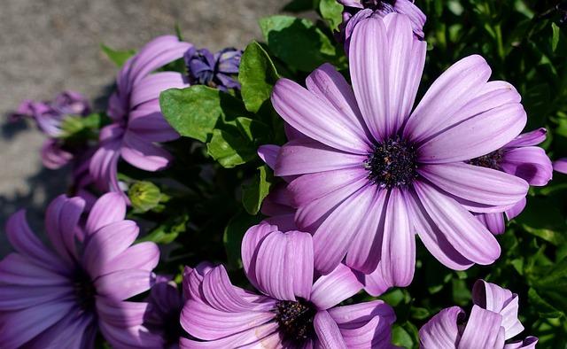 紫のテオスペルマム
