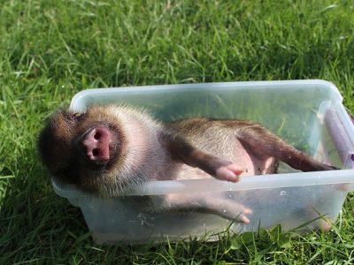 子豚の昼寝