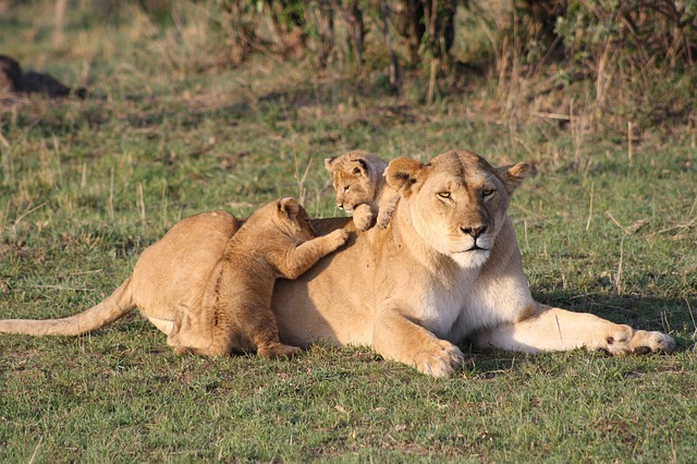 ライオンの親子