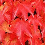 紅葉したブドウの葉