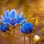 青色のアネモネ