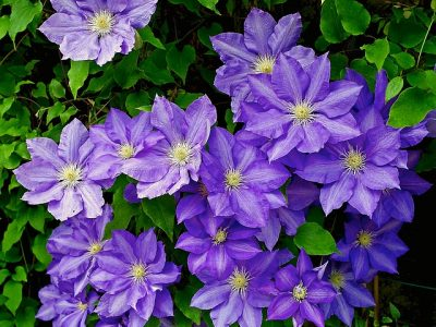 薄紫のクレマチス