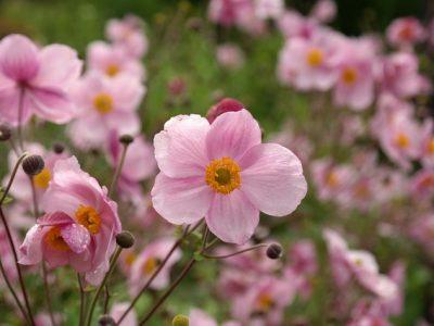 濃いピンク色のシュウメイギク