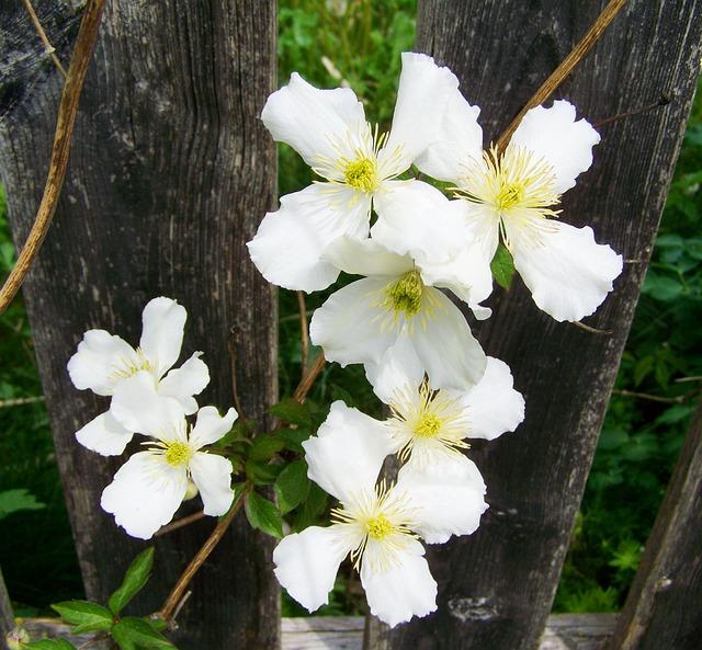白色のクレマチス