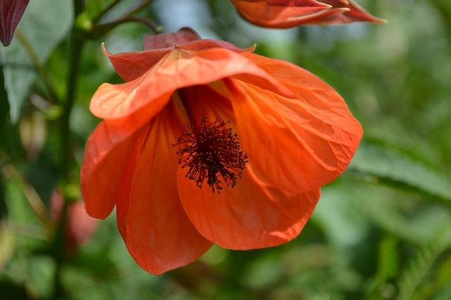 オレンジ色のアブチロン