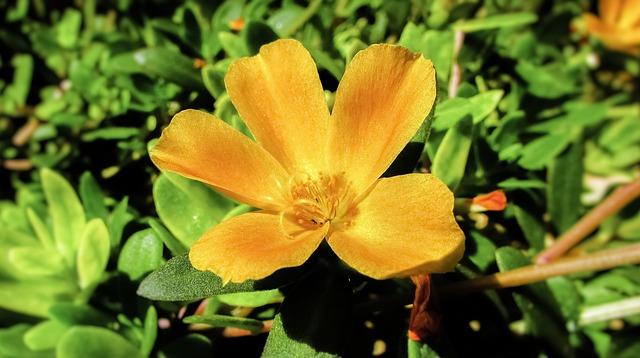 オレンジ色のポーチュラカ