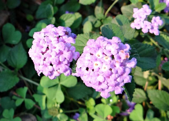 薄紫のランタナ