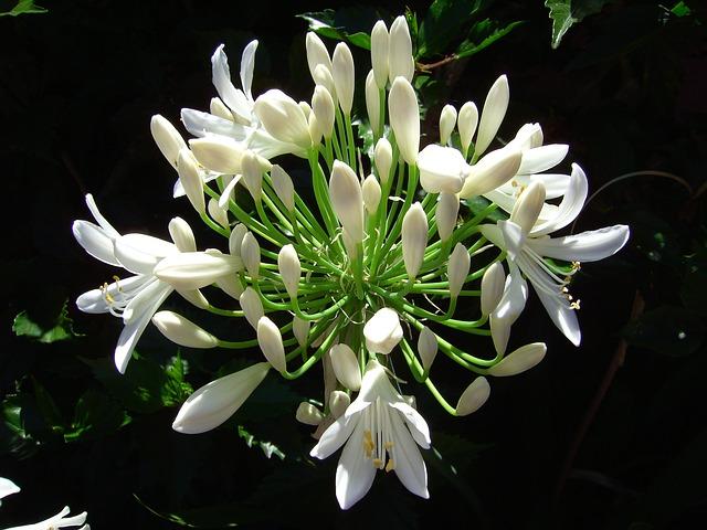 白が美しいアガパンサス