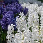 白と青のヒヤシンス畑