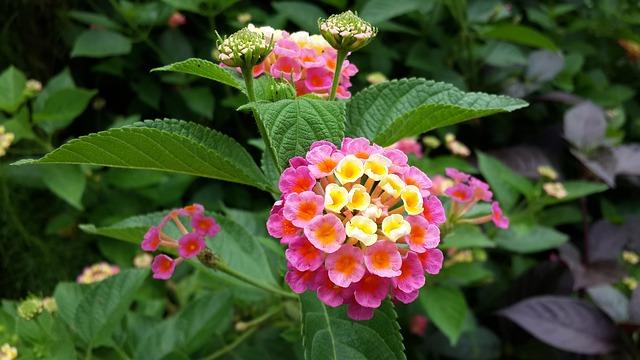 二色の花のランタナ