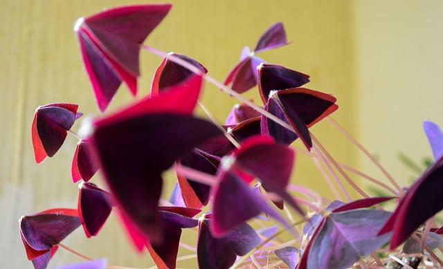 赤紫色のオキザリス
