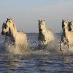 湖を走る白馬