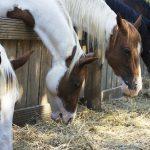 食事中の馬