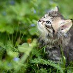 トラの子猫